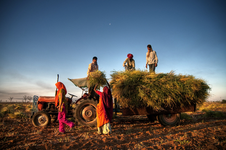 Family harvesting crops, near Jaipur, India.