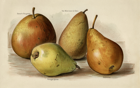 La guía del cultivador de frutas: Ilustración vintage de pera Foto de archivo - 90595457
