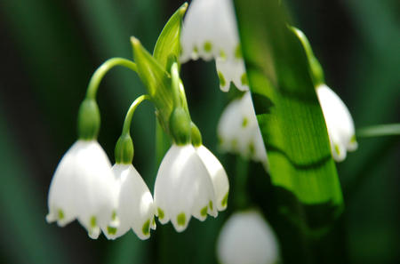 Snowdrops in Japan Stock Photo