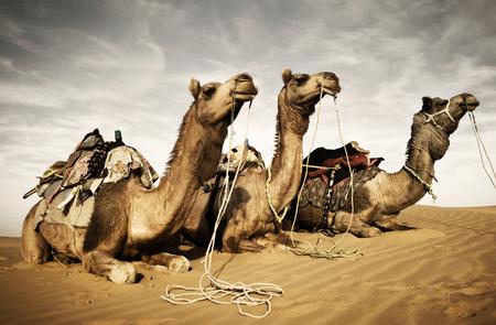 Kamelen rusten in de woestijn. Tharwoestijn, Rajasthan, India.