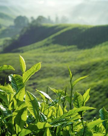 Fresh tea leaves at plantation
