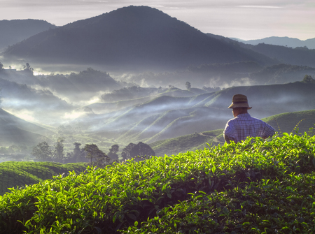 Farmer at tea plantation in Malaysia. Stock fotó