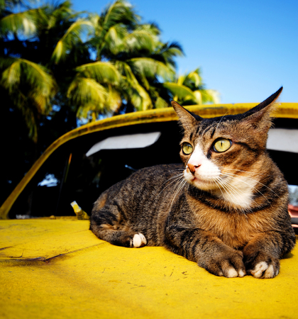 Cat relaxing on an old classic car on a tropical island.