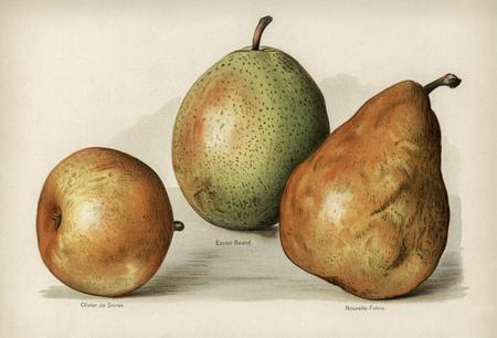 De gids van de fruitteler: Vintage illustratie van peren