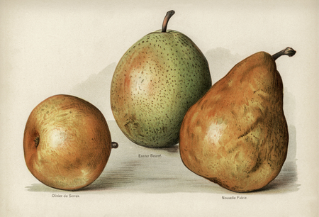 The fruit growers guide : Vintage illustration of pears
