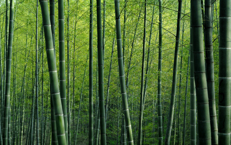 Bamboebos in China