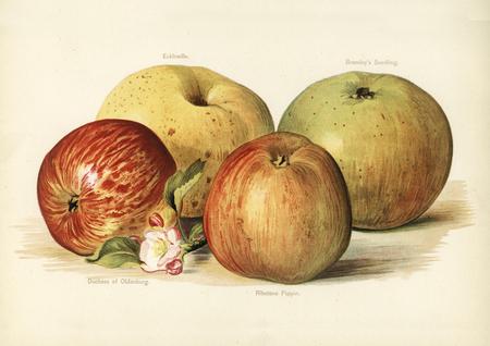 De gids van de vruchtenteler: Vintage illustratie van appel