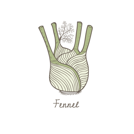 Vector of a fennel