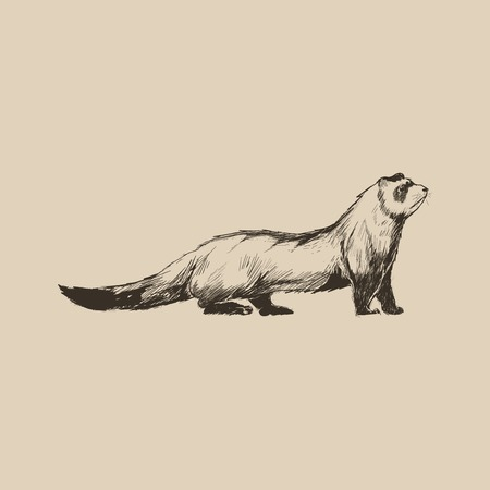 Illustration drawing style of ferret Stock Photo