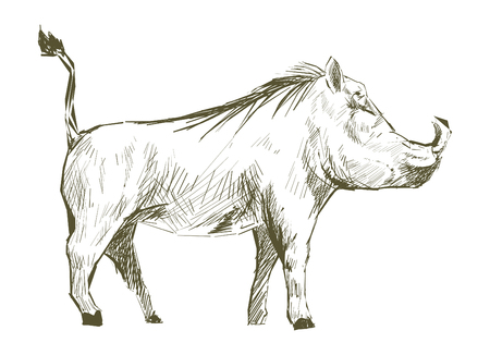 Illustration drawing style of pig