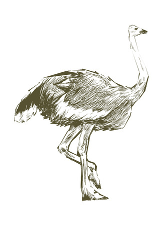 Illustration drawing style of ostrich Imagens