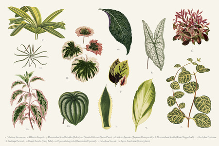 Collection of leaves found in (1825-1890) New and Rare Beautiful-Leaved Plants. Digitally enhanced from our own 1929 edition of the publication. Stock Photo - 95597202