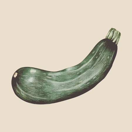 Illustration of zucchini