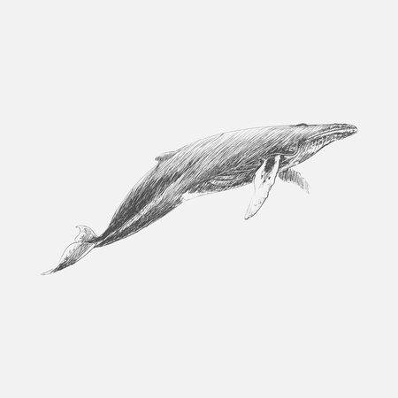 Illustration drawing stye of humpback whale by Charles Dessalines D Orbigny (1806-1876). Digitally enhanced from our own 1892 edition of Dictionnaire Universel Dhistoire Naturelle.