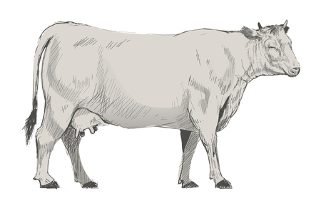 Illustration drawing style of cow Stock Illustration - 95596753