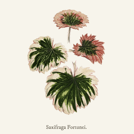Saxifrage (Saxifraga Fortunei)found in (1825-1890) New and Rare Beautiful-Leaved Plant.