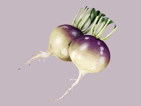 Illustration of turnips
