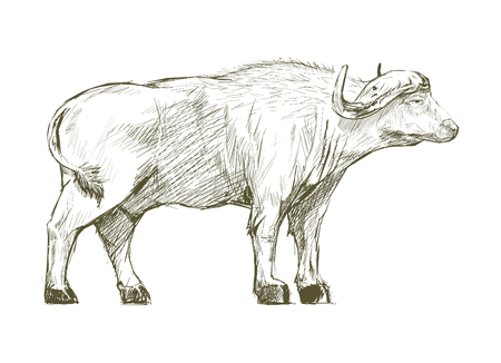 Illustration drawing style of buffalo