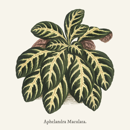 Aphelandra Maculata found in (1825-1890) New and Rare Beautiful-Leaved Plant.