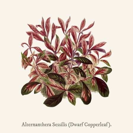 Dwarf Copperleaf (Alternanthera Sessilis) found in (1825-1890) New and Rare Beautiful-Leaved Plant. Zdjęcie Seryjne