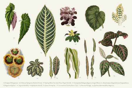 Collection of leaves found in (1825-1890) New and Rare Beautiful-Leaved Plants. Digitally enhanced from our own 1929 edition of the publication. Stok Fotoğraf - 96936494