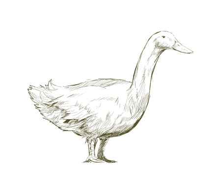 Illustration drawing style of duck 스톡 콘텐츠