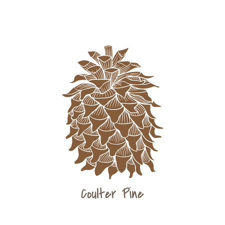 Coulter pine concept