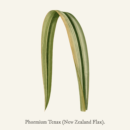 Variegated New Zealand Flax (Phormium Tenax Variegatum) found in (1825-1890) New and Rare Beautiful-Leaved Plant. Imagens