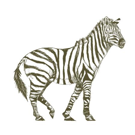 Illustration drawing style of zebra
