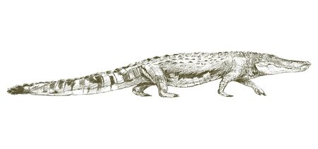 Illustration drawing style of alligator