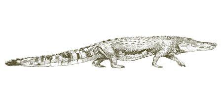 Illustration drawing style of alligator