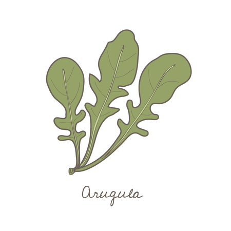 Illustration of an arugula Foto de archivo - 96683428