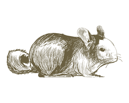 Illustration drawing style of rat
