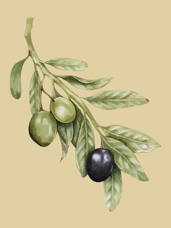 Illustration of olives on a branch