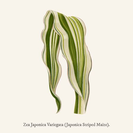 Japonica Striped Maize (Zea Japonica Variegata ) found in (1825-1890) New and Rare Beautiful-Leaved Plant.
