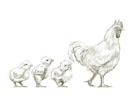 Illustration drawing style of chicken