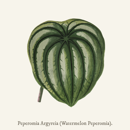 Pepper Elder (Peperomia Aroypeia) found in (1825-1890) New and Rare Beautiful-Leaved Plant. Stock fotó - 97156017