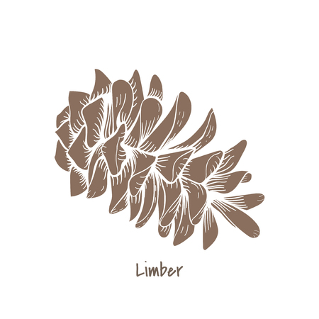 Illustration of pine cone