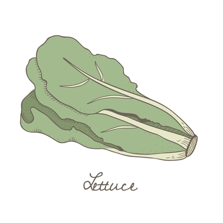 Illustration of a lettuce Stok Fotoğraf - 97153566