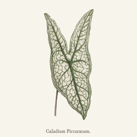 Heart of Jesus (Caladium Picturatum) found in (1825-1890) New and Rare Beautiful-Leaved Plant. Stock Photo