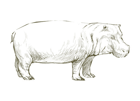 Animals Illustration of hippopotamus