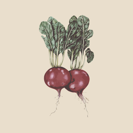 Painting of radishes 写真素材