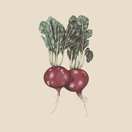 Painting of radishes Stock Photo