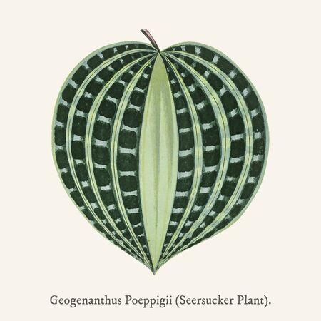 Seersucker Plant (Dichorisandra Undata) found in (1825-1890) New and Rare Beautiful-Leaved Plant.