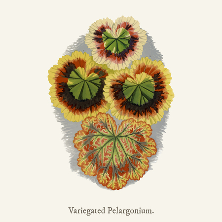 Variegated Geraniums (variegated pelargonium) found in (1825-1890) New and Rare Beautiful-Leaved Plant. Imagens