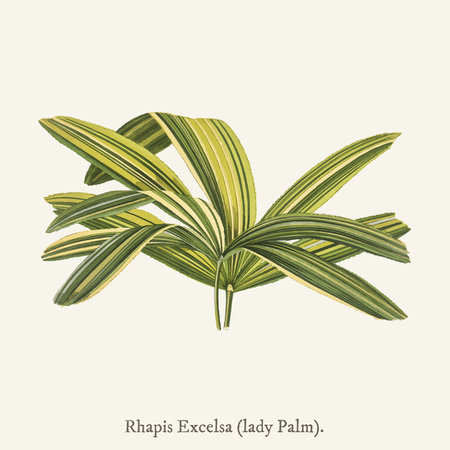 Slender Lady Palm (Rhapis Flabelliformis) found in (1825-1890) New and Rare Beautiful-Leaved Plant. Stock fotó