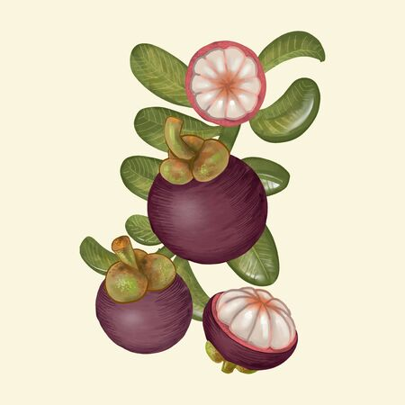 Hand drawn purple mangosteen isolated Stock Photo
