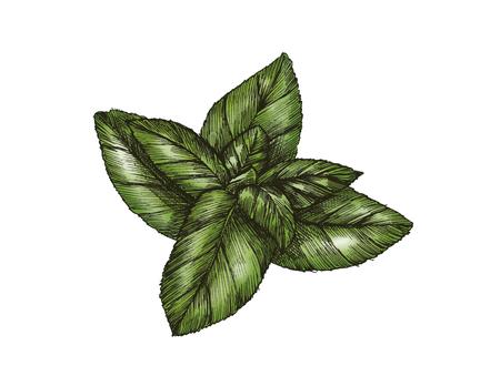 Hand-drawn basil leaf isolated Banco de Imagens - 99962223