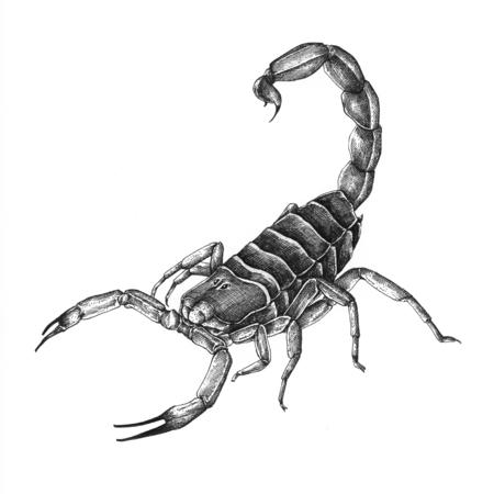 Scorpion dessiné main isolé sur fond