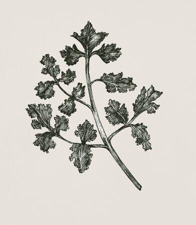 Hand-drawn fresh coriander isolated Banco de Imagens - 99962387